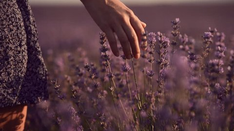 Close up of girl's hand that touching blossoming lavender. Slow motion