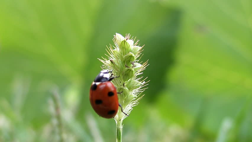 ladybug takes off from grass