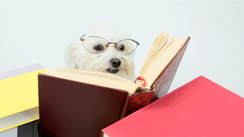 Cute maltese dog, wearing oversized eyeglasses, reads book, cocks her head. Education, reading comprehension, fun concept. 1920x1080p