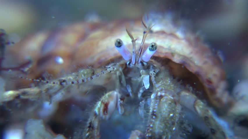 Portrait of Small hermit crab (Diogenes pugilator) leaves the frame, close-up. Black Sea. Ukraine.