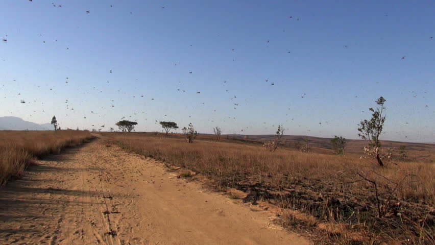 plague of locusts Nosy Varika, Madagascar July 2014