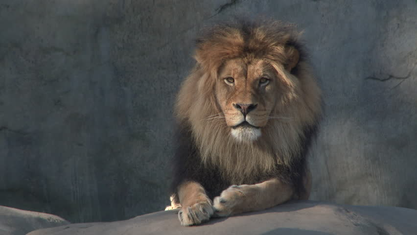 Large, adult male lion laying down looking at camera.