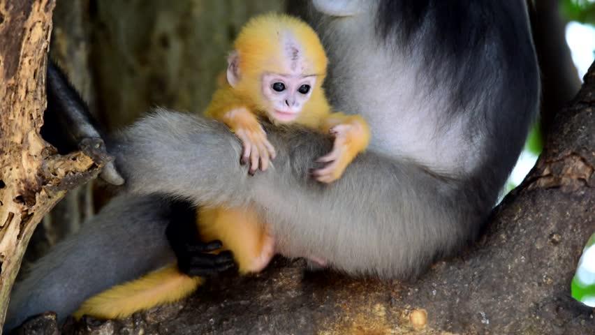 Dusky Langur ,leaf monkey baby
