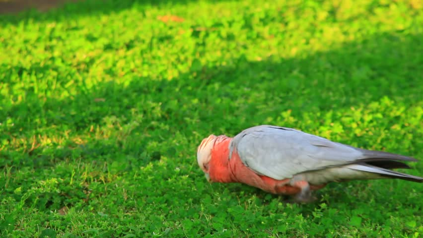pink galah in grass