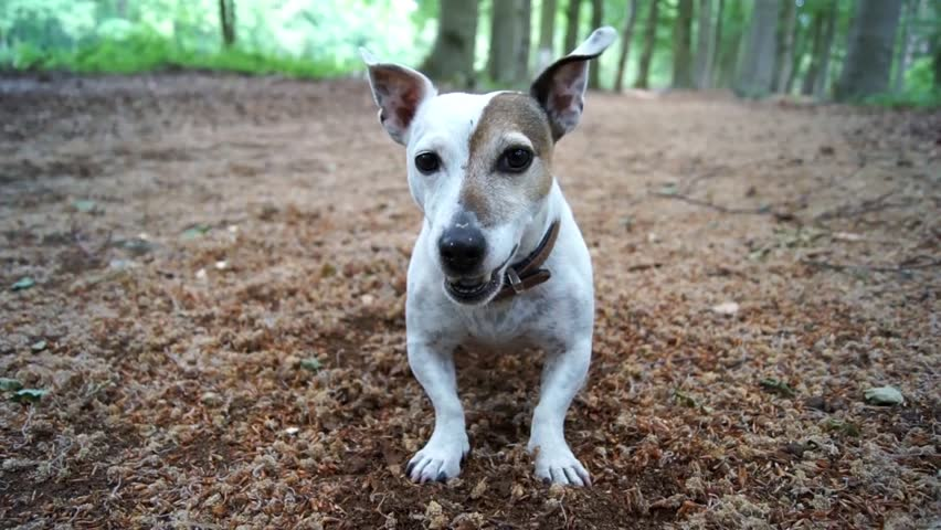 Very cute white and brown Jack Russel Terrier dog barking in woods during autumn fallen brown leaves everywhere through the woods and some green leaves in the background filmed in HD resolution
