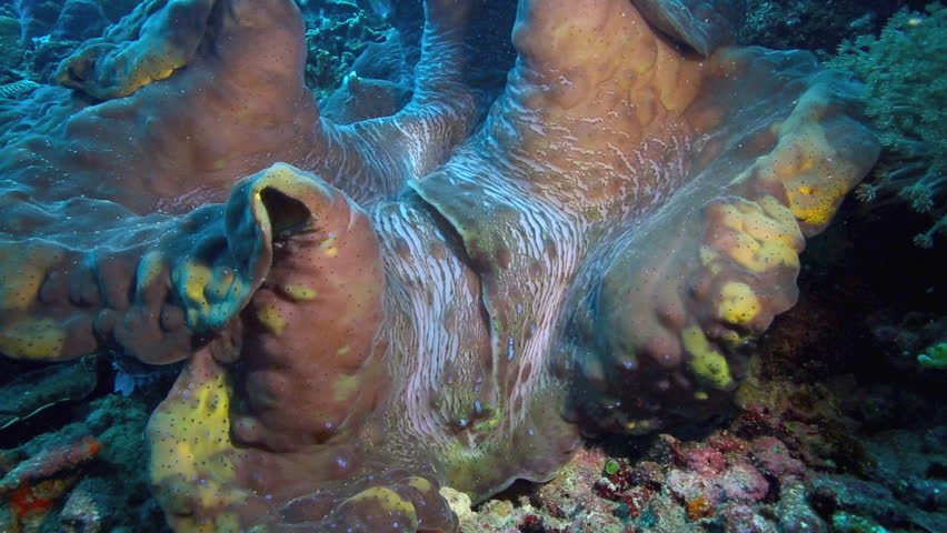 Giant clam shell underwater