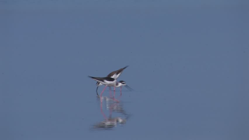 Black-necked Stilt foraging in a calm coastal lagoon.