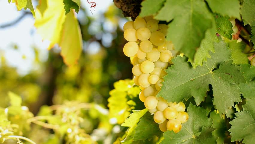 Afbeeldingsresultaat voor white grapes