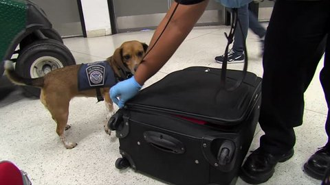 CIRCA 2010s - Homeland Security uses canine sniffer dogs to look for drugs at an American airport.