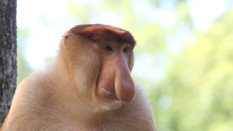 Large nosed alpha male proboscis monkey in Borneo, Malaysia
