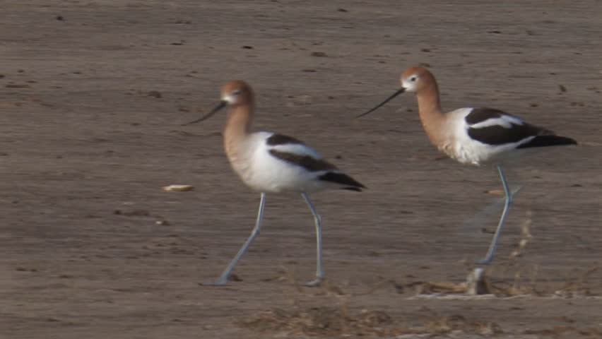 Header of American avocet