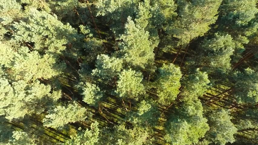Pine forest Aerial view