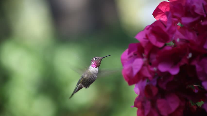 A hummingbird shows its colors and feeds on magenta-colored flowers | Shutterstock HD Video #922750