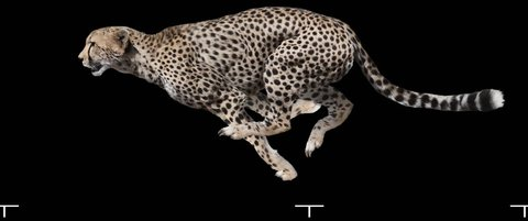 Isolated Leopard (Cheetah) cyclical running. Can be used as a silhouette.