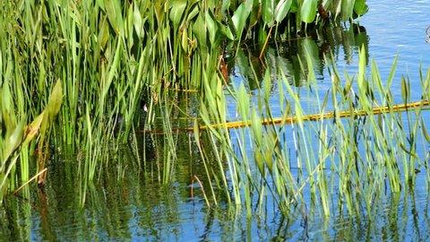 American Coot duck in pod grass, 4K