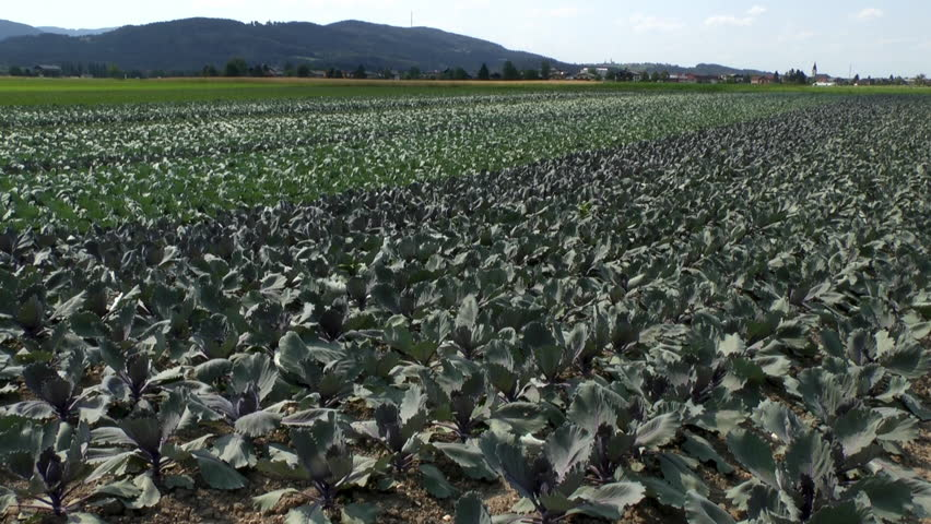 Young Red Cabbage On The Field