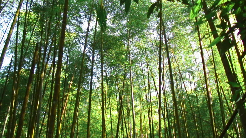bamboo canopy shimmers in sunlight in an asian bamboo forest stock footage video 93910 shutterstock - Bamboo Canopy 2015