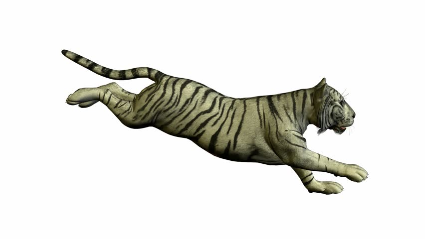 White tiger running on a white background