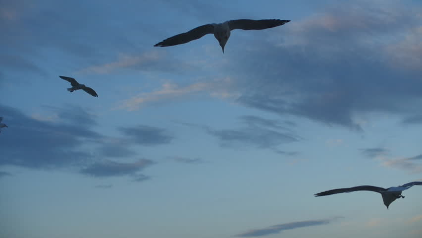 Seagulls high in the sky. Manly, Sydney, Australia. Feb 2015. | Shutterstock HD Video #9485030