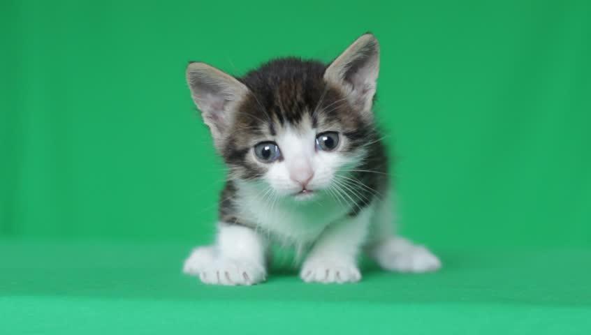 Cute kitten meowing on a green screen, close-up, chroma key | Shutterstock HD Video #9513263