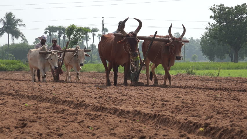 TAMIL NADU, INDIA - 24 NOVEMBER 2014: Unidentified farmers use cows to plow a piece of land and plant seeds for a new harvest, in a village in Tamil Nadu. #9529130