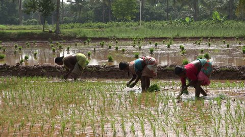 TAMIL NADU, INDIA - 23 NOVEMBER 2014: A group of women plant rice bundles in a paddy field in South India.