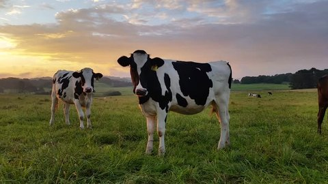 Clip of Holstein Friesians often shortened as Friesians, dairy cattle cows used to produce milk and other dairy products on a lush green farm during a spectacular sunset