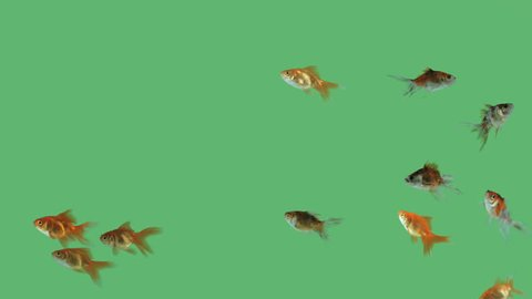 Flock of fishes swimming free on green screen