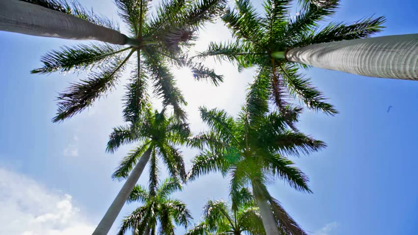 Looking up at Palm Trees in Miami