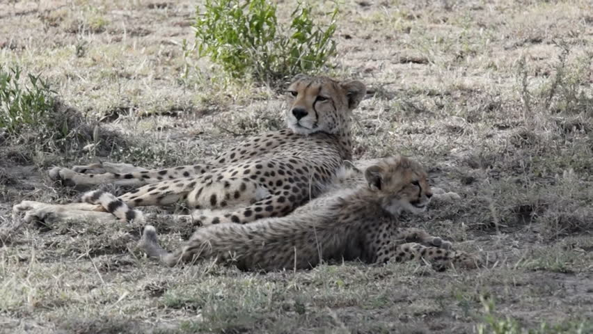 A Cheetah mother rolls and her cubs stretch.