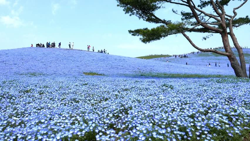 Nemophila flower field baby blue eyes blue flowers in the garden nemophila flower field baby blue eyes blue flowers in the garden stok video klip 9737330 shutterstock mightylinksfo