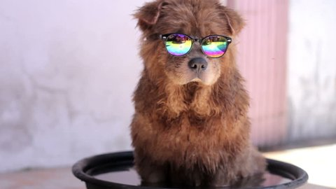 Cute dog with sunglasses taking a bath on a basin with water on a hot summer day.