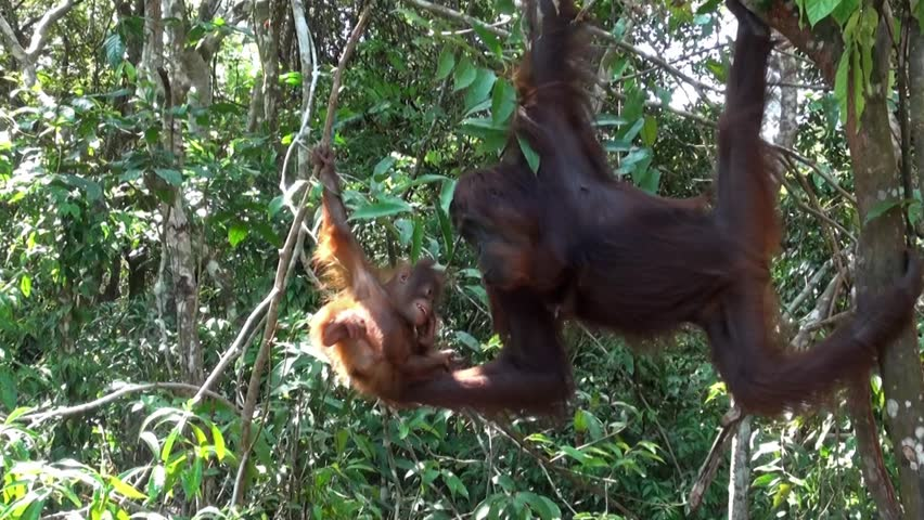 Smiling Orangutan baby is playing with its mother in Borneo. Amazing footage!