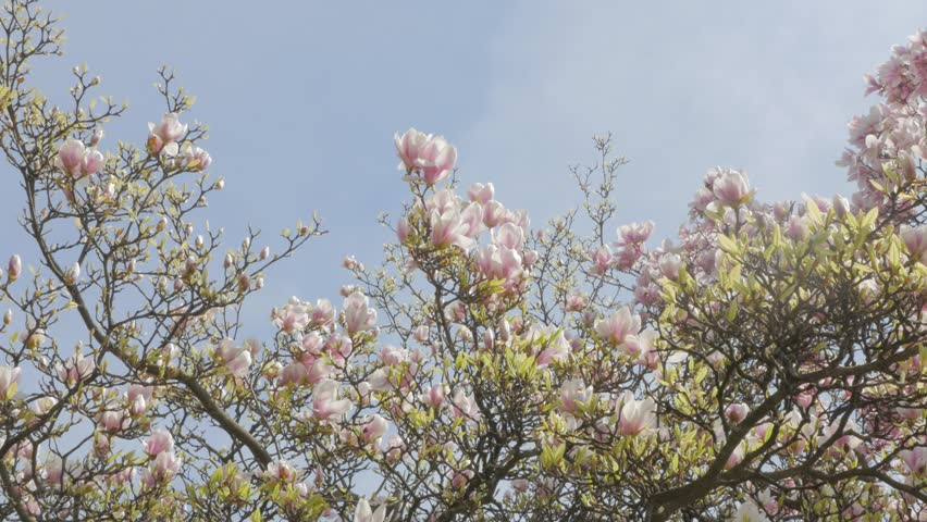 Magnolia X Soulangeana Pink Flower Stock Footage Video 100