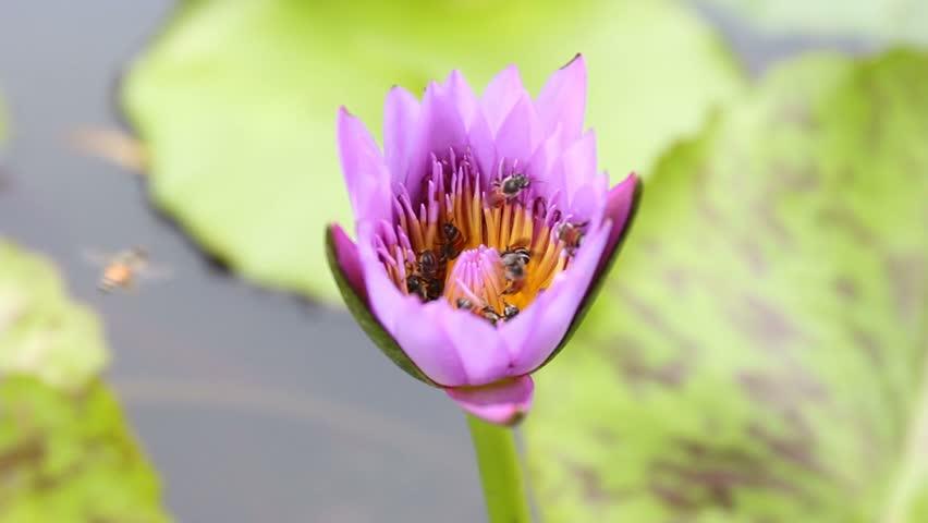 Stock video of many bee on purple lotus flower 9917930 shutterstock mightylinksfo