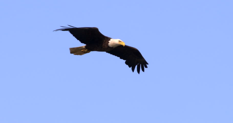 Beautiful close-up of Bald Eagle soaring through blue sky.