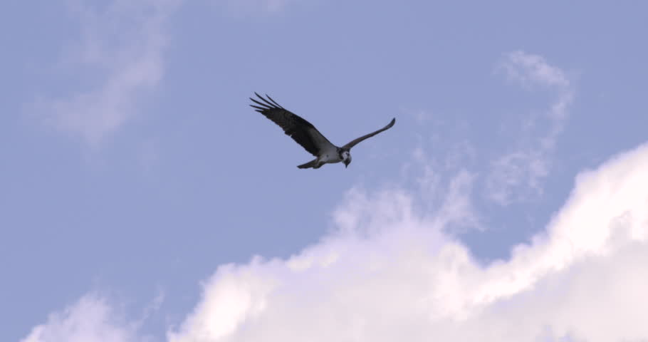 Osprey flying in slow motion as it looks down searching from prey.