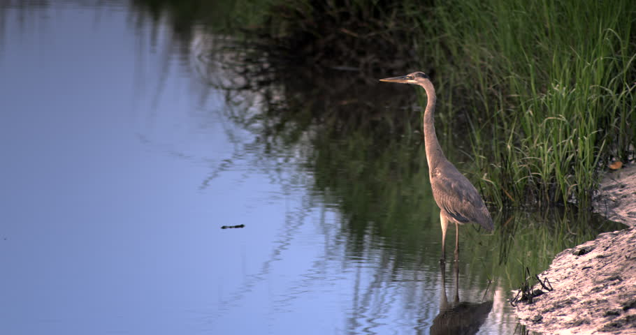 Colorful shot of Great Blue Heron standing stationary on shore of wetlands river.